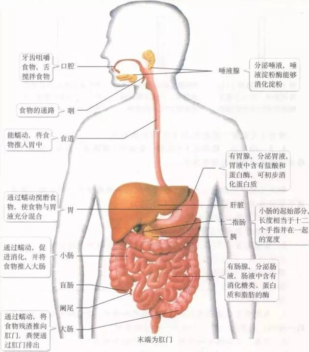 人体消化食物全过程
