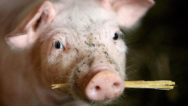 """科学家已经开始在猪体内培育人类器官了。这些""""人-猪""""嵌合体胚胎看上去将和普通的猪胚胎别无二致,但它们的胰腺则完全是用人类细胞培育出来的。"""