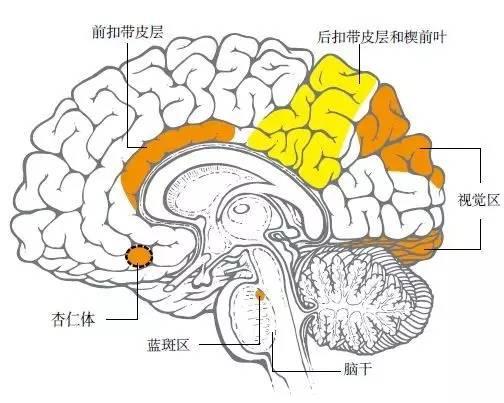 某些脑区域(黄色部分)在快速眼动睡眠期间活动较少,尤其是掌管批判性思维和理性思考的前额叶皮层区域,这也解释了为什么这一阶段的梦中有一系列不可思议的奇异事件。另一些区域(橘黄色)反而特别活跃,例如视觉区域和运动皮层,因此梦中会出现多种多样的动作和画面。掌管情绪的杏仁体在梦中也经常过于活跃,因此许多梦情绪色彩丰富。快速眼动睡眠期间,脑干中的蓝斑区还会抑制身体动作(患有某些病的人除外)。不过,在慢波睡眠期间,科学家还没能建立起脑活动和梦境的相关联系。
