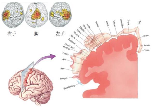 感觉运动脑区和手脚运动的对应关系