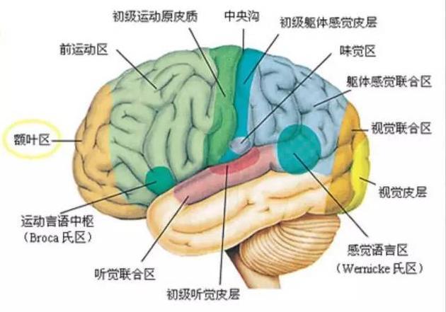 大脑皮层的功能结构。一些初级区和感官及肌肉控制有直接的关系,如触觉初级区和运动初级区。