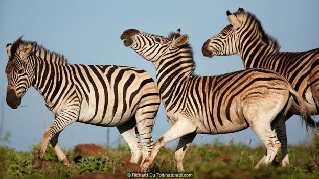 像斑马这样的大型食草动物最容易感染炭疽病。