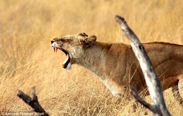 打哈欠还是怒吼?狮子是食物链顶端的掠食者,大部分时间它们都显得十分懒散,但必要的时候它们会变得异常凶猛