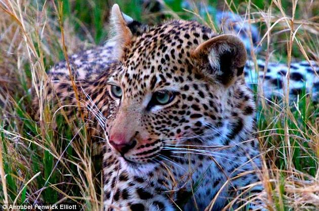 花豹是一种独来独往的大猫,可以在自然环境中很好地隐藏,除非你靠得足够近才能发现。