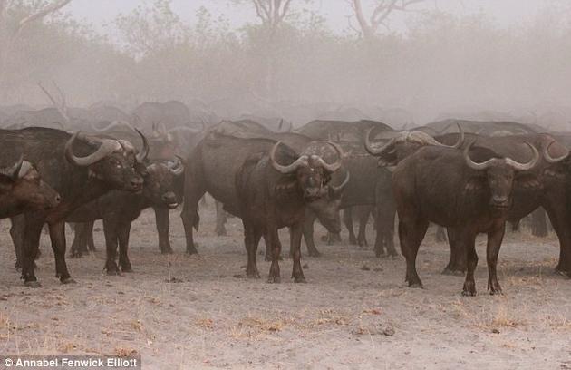 非洲水牛是群居动物,可以组成数千头的巨大群体。它们在遇到威胁时,不会像大多数食草动物一样奔逃,而是会以死相搏。