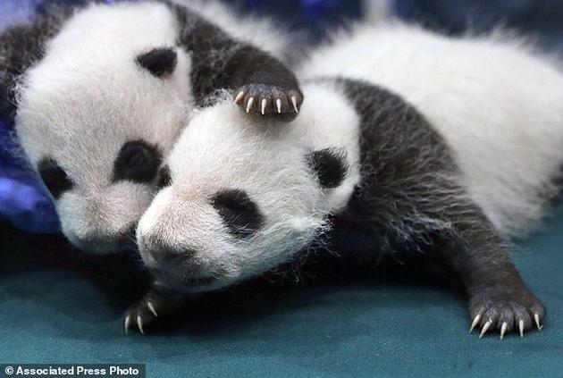 许多动物保护组织对大熊猫数量的反弹感到振奋不已,因为这不仅仅是中国长期不懈努力的结果,也是全球保护运动的重大成果之一。