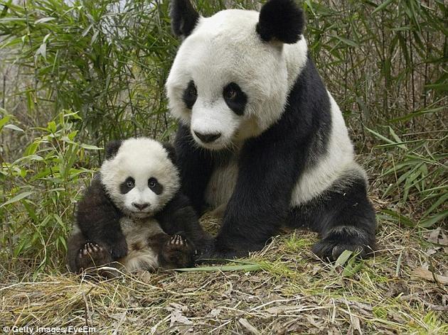 """经过数十年的精心保护,中国的野生大熊猫数量增加明显。国际自然保护联盟近日发表报告,将大熊猫由""""濒危""""级物种降格为""""易危""""级。"""