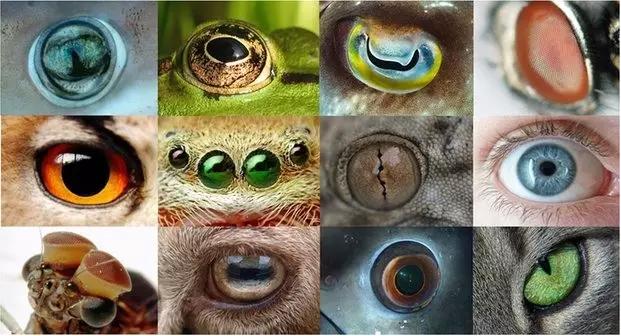 动物世界里,眼睛的形状和大小多种多样。图片来源:Wikimedia Commons