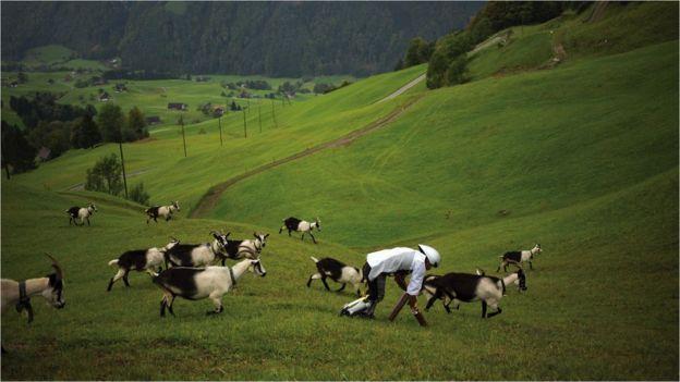 特怀茨差点卷入一场山羊的斗殴之中。