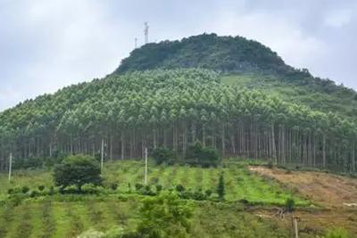 流言揭秘:桉树有毒会污染环境引发白血病?缺乏科学依据