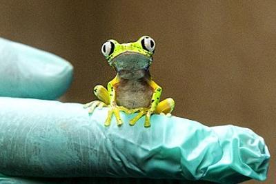 英模拟低地山林环境拯救濒危青蛙:已有许多蝌蚪长成幼蛙