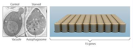 在酵母菌体内(左侧)存在一个巨大的细胞器,名为液泡,其功能与人以及其他哺乳动物体内细胞内的溶酶体相类似。于是他培养了经过改造,缺乏液泡膜降解酶的酵母菌并通过饥饿的方法激活细胞的自噬机制。此时,当这些酵母菌遭受饥饿时,吞噬小体开始在液泡内部大量聚集(右图)。大隅良典的实验证明酵母菌内部存在自噬现象。此后,大隅良典教授对数以千计的酵母菌变异样本进行了核对(右侧),并从中找到了据信与自噬作用密切相关的15组基因。