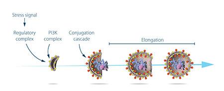 大隅良典研究了由核心自噬基因编码的蛋白质的功能。他描述了各种压力信号是如何引发自噬的,以及每个蛋白质和蛋白质复合物控制自噬体的萌生和形成的不同阶段的机制。