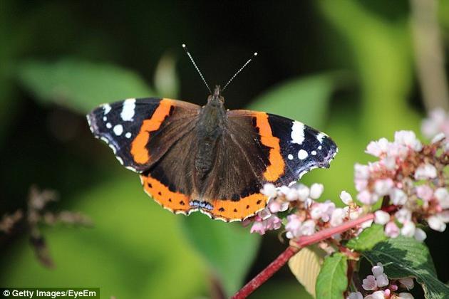 从1976年至今,英国的蝴蝶数量已经减少了41%。