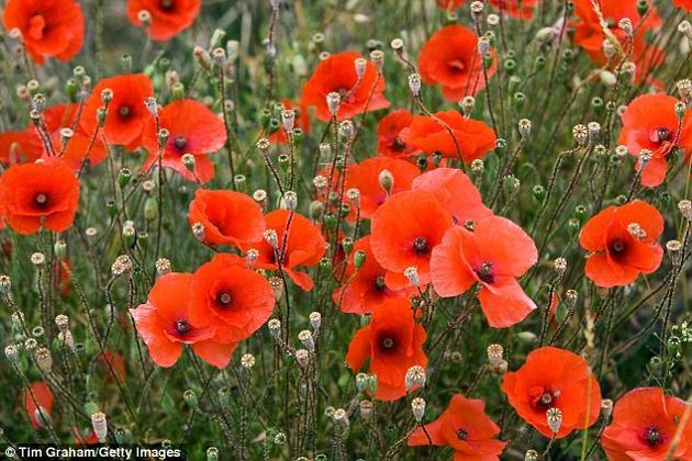 专家指出,自第二次世界大战以来,英国失去了97%的野花草地。