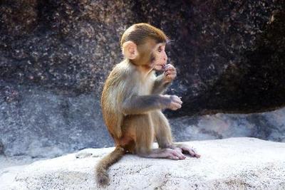 日本用多功能干细胞异体移植治疗猴子心梗:几乎无排异反应