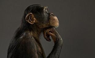 猿类可以正确预测人类行为