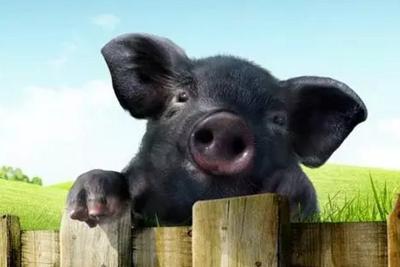 流言揭秘:黑猪肉更健康?其实营养没好到哪儿去