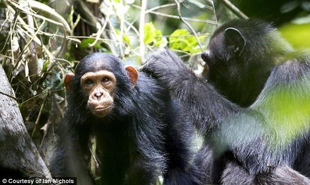 研究人员发现,黑猩猩母亲们要么会多拿几件工具、要么会把自己的工具分成两半,这样既解决了子女的需求,又不影响自己搜集食物。