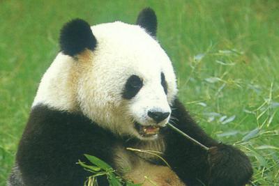 """全球仅四例:重庆动物园大熊猫""""娅娅""""产下三胞胎"""