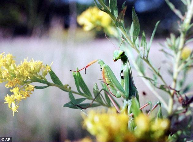 为什么某些生物类群包含了大量物种,而另一些类群的物种则屈指可数?比如现在世界上有超过2400种螳螂,而最早的螳螂化石可以追溯到约1.35亿年前。