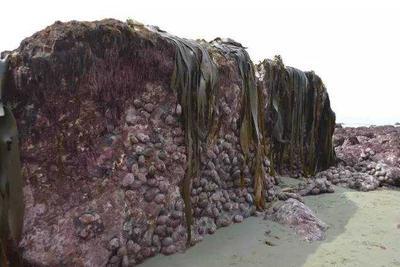 新西兰强震后大量海鲜搁浅:上万极品鲍鱼随意捕捞