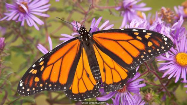 美丽的帝王斑蝶也会偷基因,不过它们是从寄生蜂那里偷来的。
