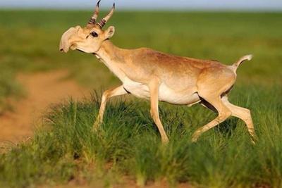 哈萨克斯坦15万头野羚羊三天内集体死亡:或因感染传染病