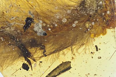 科学家首次发现琥珀中封存恐龙标本 见到真恐龙不远了?