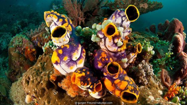,看起来有点像蝌蚪.之后,每只幼体会附着在岩石或其他物体表面,
