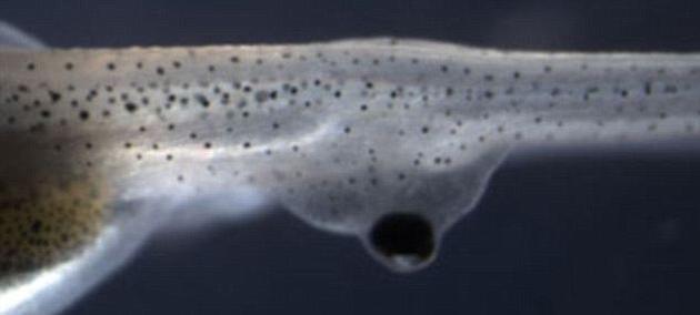 将受体蝌蚪原来的眼睛移除之后,就只保留了直接连接于脊柱,不与大脑直接相连的异位眼睛。