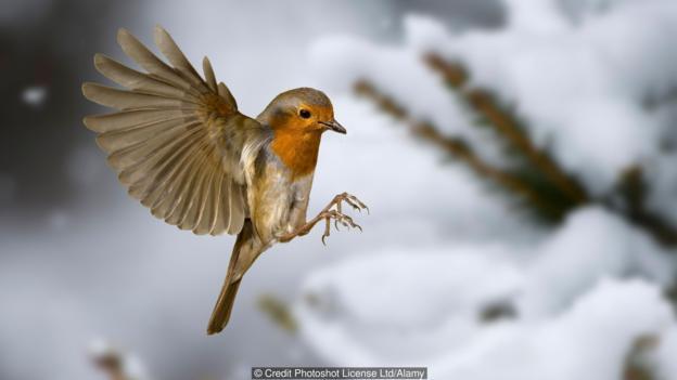 知更鸟是如何知道飞行的方向的?
