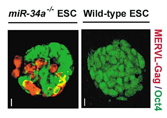 移除miR-34a的胚胎干细胞(红色)与正常胚胎干细胞的发育区别明显。图片来源:何琳实验室