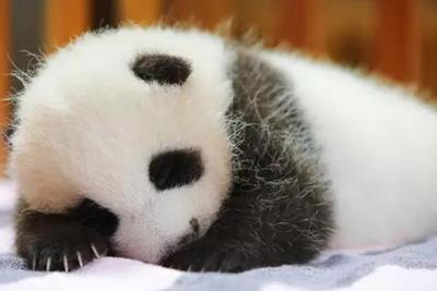 上海野生动物园大熊猫母女离世:遗体被封冻保存