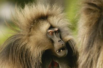 狒狒叫声隐藏人类语言起源的秘密:科学界最大未解之谜之一