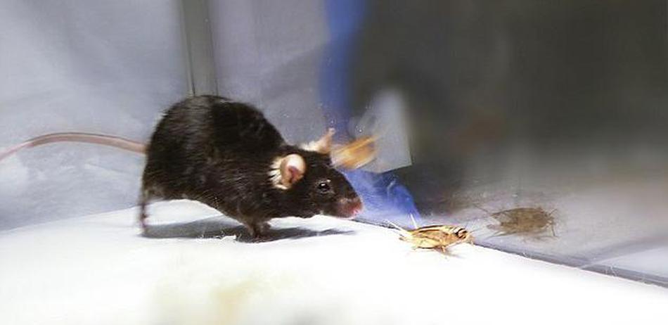 """科学家造出""""僵尸""""小鼠:打开大脑里的""""杀手""""开关"""