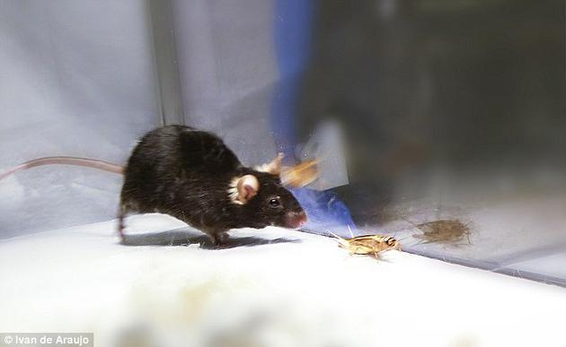 """小鼠给人的印象是温顺胆怯,而且超级喜欢奶酪,但在近期的一项研究中,科学家激活了小鼠的""""杀手本能"""",使它们变成了富有侵略性的""""僵尸""""。"""