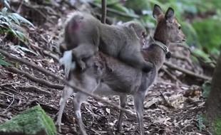 研究者拍日本猕猴与梅花鹿亲密关系
