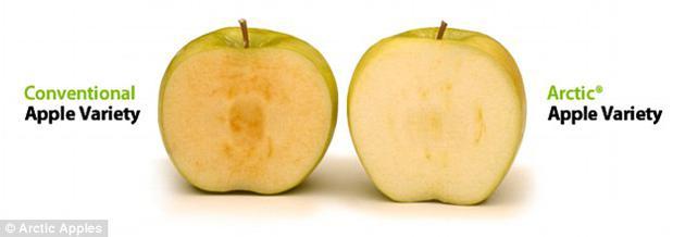 """这种苹果被称为""""北极苹果""""(右),在切开或打碎之后不会像普通苹果(左)那样很快变成褐色,而只是在真正开始腐烂的时候才会褐变。"""
