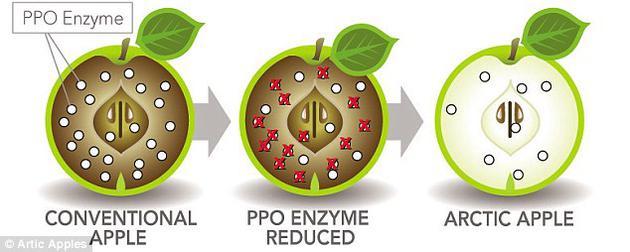 """普通苹果的细胞在受损破裂之后,内部的多酚氧化酶就会开始发挥作用,引起被称为""""酶促氧化褐变""""的化学反应,使苹果果肉迅速变成褐色。然而,""""北极苹果""""却不含多酚氧化酶,因为负责制造这种酶的基因被""""静默""""了。"""