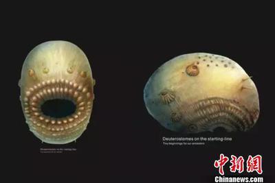 """西北大学科研团队在陕西发现""""微型人类远祖至亲"""""""