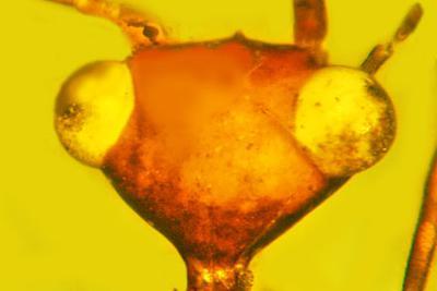 琥珀里1亿年的神奇昆虫:三角形脑袋形似外星人E.T