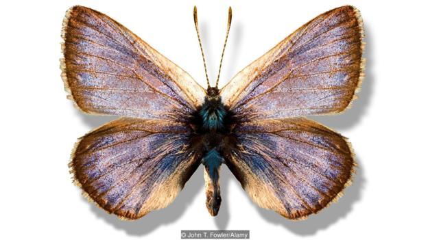 加利福尼亚甜灰蝶(学名:Glaucopsyche xerces)已经灭绝