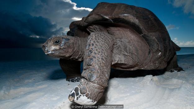 一只阿尔达布拉象龟(学名:Aldabrachelys gigantea)