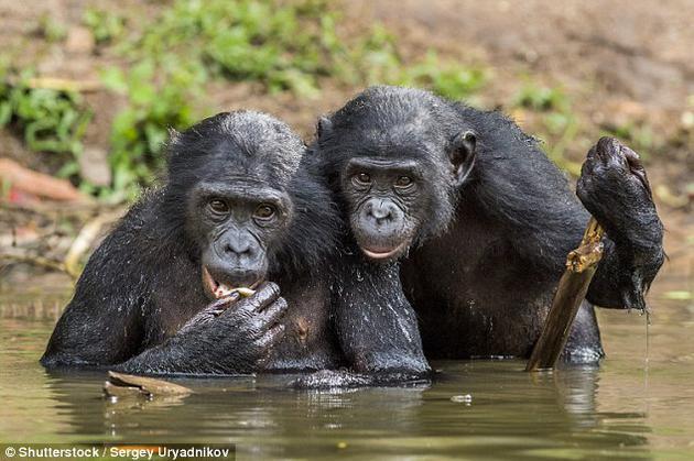 尽管大多数动物在繁殖时会避免近亲,但黑猩猩与众不同的一点在于,它们在遇到非亲属同类时也会表现出这种偏好,它们能分辨哪些黑猩猩与自己在遗传学上更加相似。