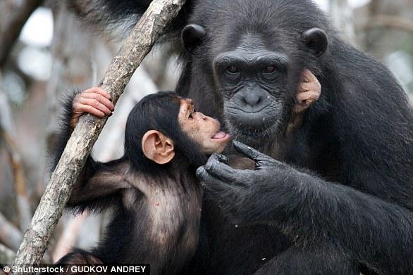 在黑猩猩群体中,父母和后代之间、兄弟姐妹之间成为配偶的情况非常罕见,但仍有研究显示,当这种情况发生时,它们的后代存活到成年的概率要比正常情况低得多。