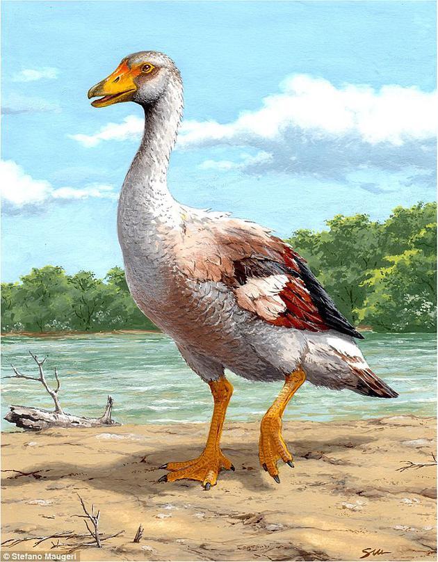 约600万至900万年之前,地中海沿岸生活着一种巨鹅,重约22千克。它们的翅膀用来打斗,而不是飞翔。