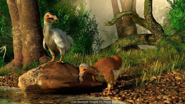 一对渡渡鸟(学名:Raphus cucullatus)