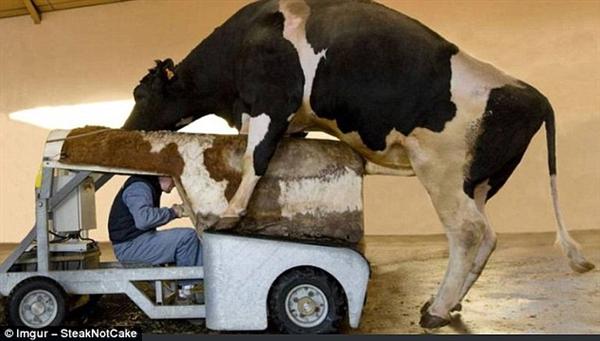 这位男子正在通过机械操作帮助公牛完成射精。