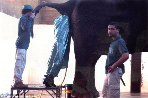 该男子的具体工作内容尚未可知,但可以确定的是钻进大象的肛部并不好玩儿。